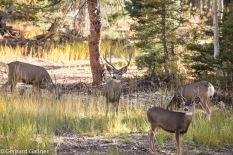 Grand Canyon - Mule Deer