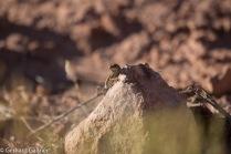 Eidechse in der Wüste