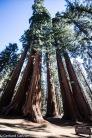 Sequoia NP Big Tree