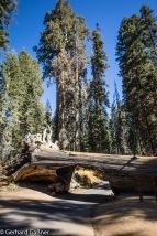 Sequoia NP Tunnel Log
