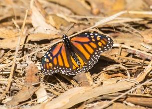 Monarch Falter