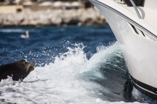 Sea Lions - sehr zutraulich