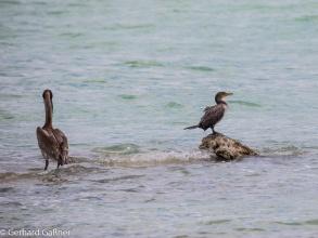 Kormoran und Pelikan